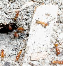 Winged Termites In Bathroom Ants In And Around The Home Ohioline
