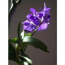 vanda orchid vanda orchid flowering plant at rs 30 kashinathpur