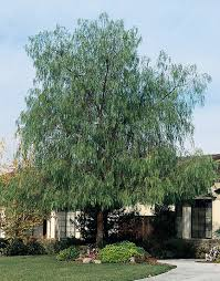 native ca plants schinus molle california pepper tree water use low drought