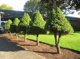 decorative blue spruce trees for landscaping manitoba design