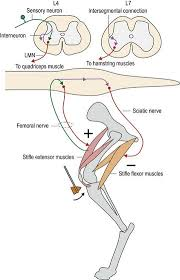 Knee Reflex Arc Hierarchical Organisation In The Nervous System Veterian Key