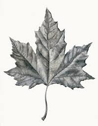 drawn maple leaf contour drawing pencil and in color drawn maple