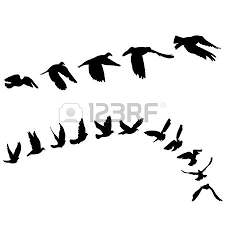 flock of birds images u0026 stock pictures royalty free flock of