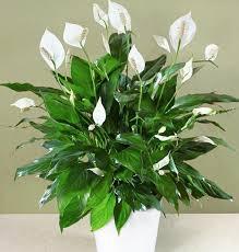 grünpflanzen im schlafzimmer pflegeleichte zimmerpflanzen im schlafzimmer sorgen für ruhigen schlaf