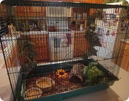 king quails backyard chickens