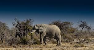 desert elephants pass on knowledge u2014not mutations u2014to survive