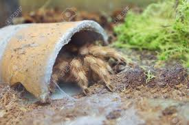 big spider in flowerpot in terrarium kyiv zoo ukraine stock