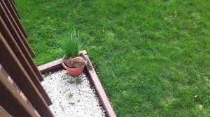 mother rabbit building nest in flower pot youtube