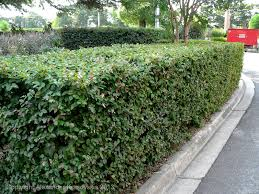 australian native hedging plants aggregata plants u0026 gardens february 2013