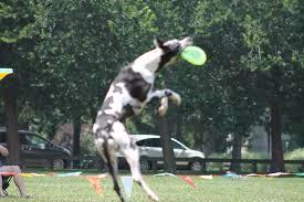 australian shepherd frisbee frisbee flyin u0027 dogs lipetplace