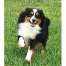 australian shepherd qld hi my name is benley and i love all living beings including other