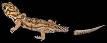 geckos disposable parts clyde peeling u0027s reptiland