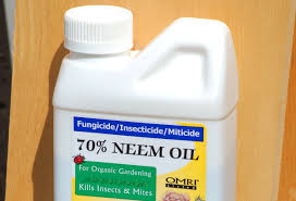 Homemade Pesticide For Vegetable Garden by Using Neem Oil As An Organic Insecticide