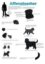 affenpinscher group breed guide