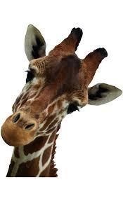 stickers girafe chambre bébé agréable stickers muraux chambre bebe pas cher 12 stickers girafe