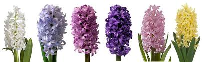 hyacinth flower flower series hyacinth flower talk