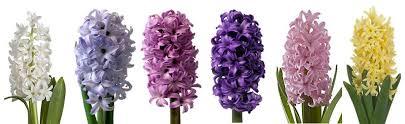 Hyacinth Flower Spring Flower Series Hyacinth Flower Talk