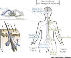 the significance of epidermal lipid metabolism in whole body