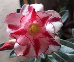Conhecido 5 Mudas De Rosa Do Deserto Dobrada 100% Garantido (sem Flor) - R  #JW21