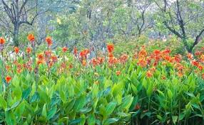 cana lilly cana cannas flowers colors steakhousekl club