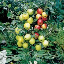 malus domestica coronet family tree apple coronet family tree
