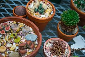 Plants That Don T Need Natural Light by No Water No Problem Gc Tips On Caring For Succulents Garden