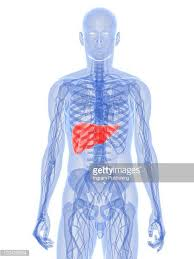 Liver Human Anatomy Human Liver Stock Photos And Pictures Getty Images