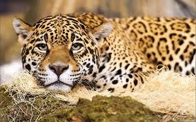 jaguar animal wallpapers high quality pics jaguar animal in