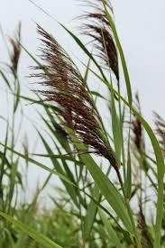 Edd Maps Invasive Species Council Of Manitoba Invasive Plants U0026 Animals In