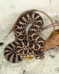 Backyard Reptiles 541 Best Animals Snakes Images On Pinterest Animals Amphibians