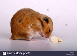 pet prayer fodder animal pet meditate rodent think thoughts hamster prayer