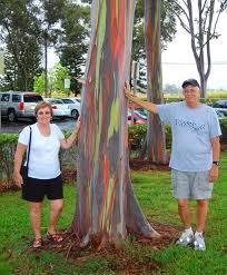 rainbow eucalyptus eucalyptus deglupta in stock and for sale