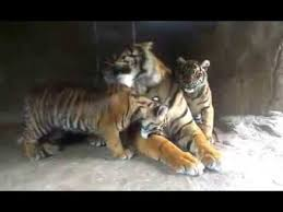 tiger cubs with their at burgers zoo arnhem the
