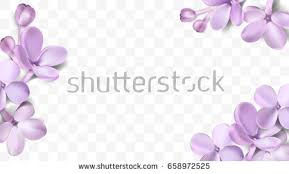 lilac flowers purple flowers stock images royalty free images vectors