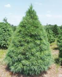 whispering pines christmas tree farm christmas lights decoration