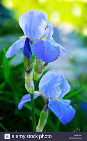 blue iris flowers in the garden stock photo royalty free image