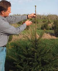 how to prune conifers gardening