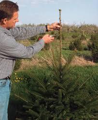 how to prune conifers fine gardening