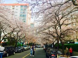 cherry blossom festivals in busan this weekend