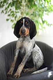 bluetick coonhound gifts best 25 english coonhound ideas on pinterest bluetick coonhound