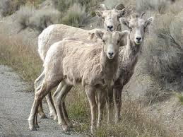 free picture ram sheep animal herd grass