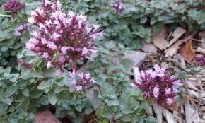 ornamental oregano origanum rotkugel