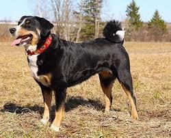 australian shepherd dog names appenzeller sennenhunde dog breed information pictures
