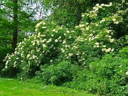trees are also native plants 18 species of holly trees and shrubs