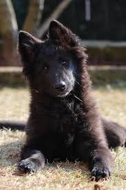 belgian shepherd breeds 7 best black belgian shepherd images on pinterest belgian