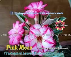 adenium variegated leaves pink moon orient adenium online store