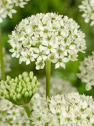 allium nigrum ornamental