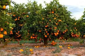 valencia orange trees stock photo colourbox