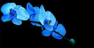 blue orchid flower blue orchids 140282d1372052023 blue orchid blue orchid pic jpg