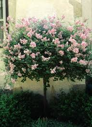 cashman nursery ornamental trees